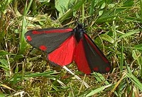 The Cinnabar - Tyria jacobaeae