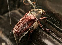 Cockchafer - Melolontha melolontha - May-bug