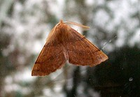 Feathered Thorn Moth - Colotois pennaria