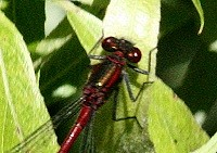 Large Red Damselfly - Pyrrhosoma nymphula