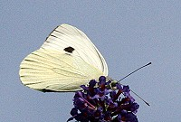 Large White Butterfly - Pieris brassicae