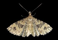Many-plumed Moth - Alucita hexadactyla