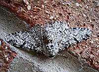 Peppered Moth - Biston betularia