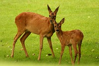 Roe Deer - Capreolus capreolus - Doe and fawn