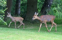 Roe Deer - Mother and fawn - Capreolus capreolus
