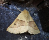 Scalloped Oak Moth - Crocallis elinguaria