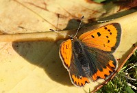Small Copper Butterfly - Lycaena phlaeas