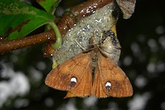 The Vapourer Moth - Orgyia antiqua