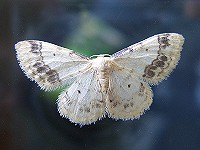 Treble Brown-Spot - Idaea trigeminata