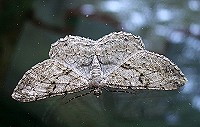 Willow Beauty - Peribatodes rhomboidaria