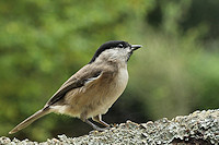 Marsh tit - Parus palustris