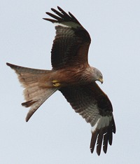Red Kite - Milvus milvus