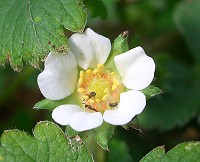 Barren Strawberry - Potentilla sterilis