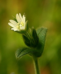 Common Mouse-Ear - Cerastium fontanum