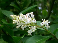Common Privet - Lugustrum vulgare