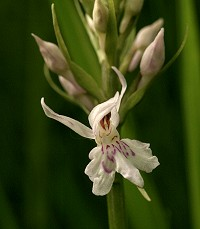 Common Spotted Orchid -Dactylorhiza fuchsii