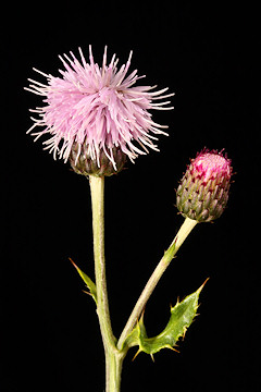 Creeping Thistle - Cirsium arvense