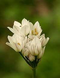Hairy Garlic - Allium subhirsutum