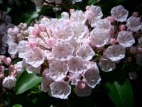 Kalmia - Mountain Laurel