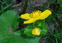Marsh Marigold - Calitha palustris