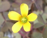 Upright Yellow Sorrel - oxalis europaea