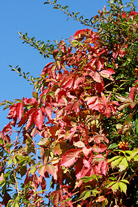 Virginia Creeper - Parthenocissus quinquefolia