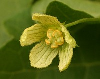 White Bryony - Bryonia dioica