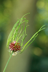 Wild Onion (Crow Garlic) - Allium vineale