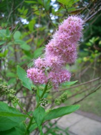 Willow Spiraea