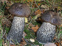 Brown Birch Bolete - Leccinum scabrum
