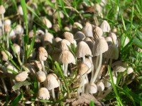 Fairies Bonnets Mushrooms - Coprinus disseminatus