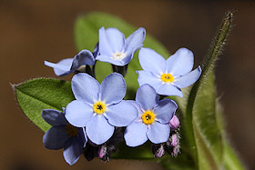 Forget-me-not - Myosotis sylvatica