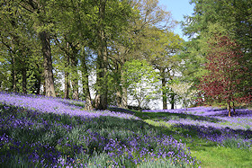 A carpet of English bluebells