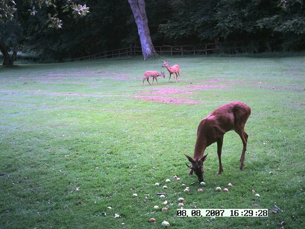 Roe deer, buck, doe and fawn