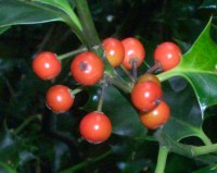 English Holly Berries - poisonous
