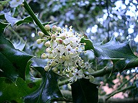 English Holly Flowers