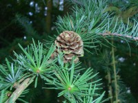 European Larch - Larix decidua