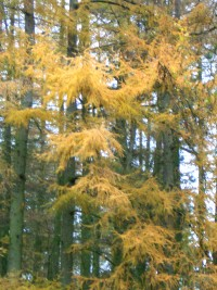 European Larch in Autumn - Larix decidua
