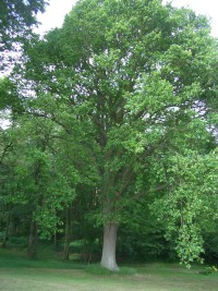 English Oak Tree in Summer - Quercus robur