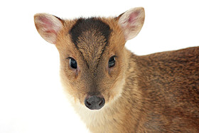Muntjac Photo Gallery
